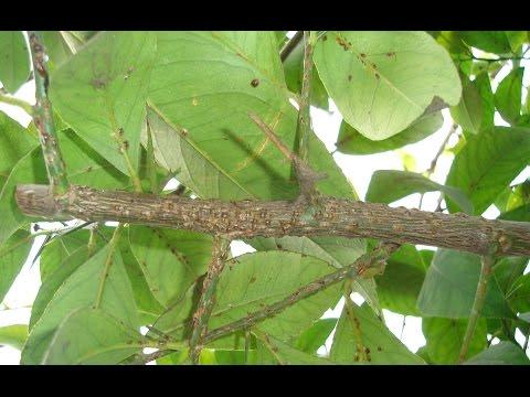 Простейший метод лечения лимона от щитовки!!! Diaspididae treatment.