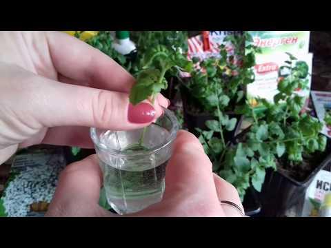 Бакопа. Главные правила выращивания бакопы из семян. Укоренение бакопы