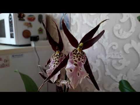 Брассия-орхидея паук.Содержание и уход.