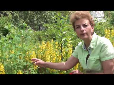 """Неприхотливые растения для сада Вербейник точечный и др. Сайт """"Садовый мир"""""""