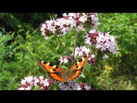 Трава долголетия у вас в саду - Душица(Oríganum vulgáre) полезные свойства, применение
