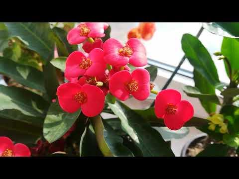 Молочай Миля или терновый венец цветёт без отдыха!