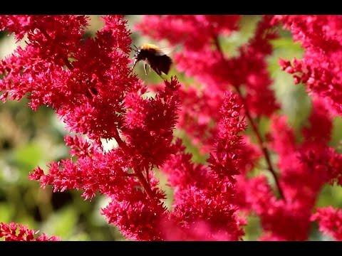 Астильба: выращивание, уход, размножение