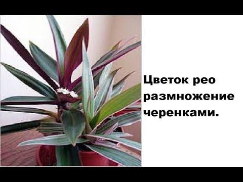 Размножение цветка рео черенкованием. (часть1, см. продолжение)