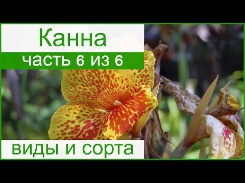 🌷 Виды и сорта канны: домашней и садовой