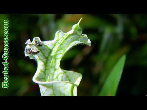 Саррацения пурпурная - плотоядное растение хищник