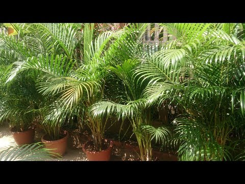 Пальма Арека: уход за растением после зимы
