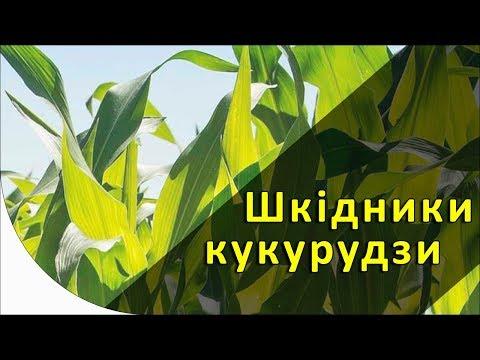 Шкідники кукурудзи [GrowEx]