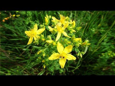 Зверобой. Полезные, лечебные свойства травы, противопоказания, рецепты народной медицины