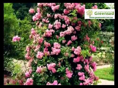 Опора для плетистых роз. Акцент в цветнике
