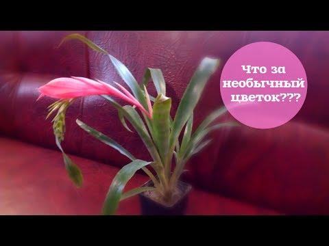 Мой новый цветок бильбергия/ Уход за бильбергией/ Цветение бильберигии