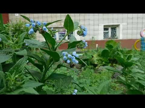 Как выращивать Окопник !