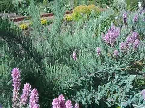 кустарник цветущий весной мирикария лисохвостная