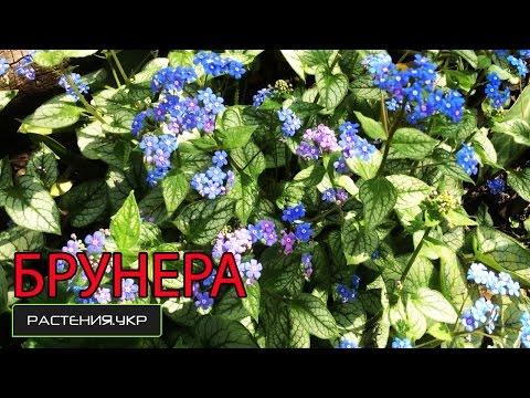 Бруннера крупнолистная посадка и уход / Тенелюбивые растения / Садовые цветы