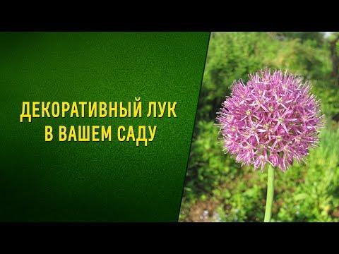 Декоративный лук в вашем саду. Посадка, уход, сорта