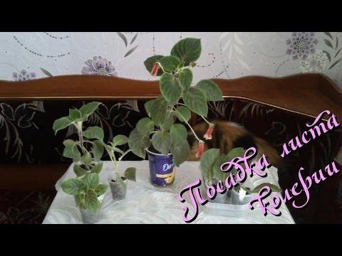 Комнатное растение колерия: размножение листом в домашних условиях