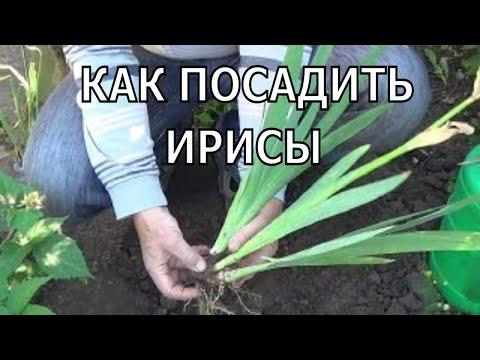 Как сажать Ирисы. Как посадить ирисы.
