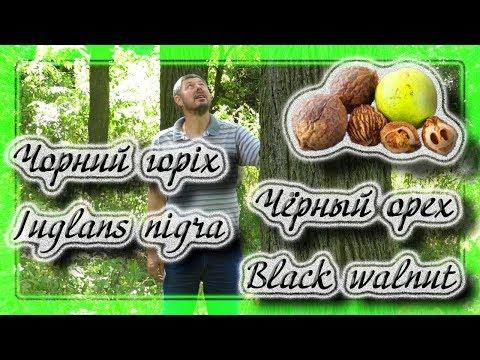 Черный орех, Black walnut, Juglans nigra.