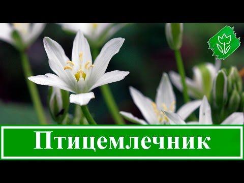 🌼 Цветок птицемлечник – посадка и уход в открытом грунте и выращивание, виды и сорта птицемлечника