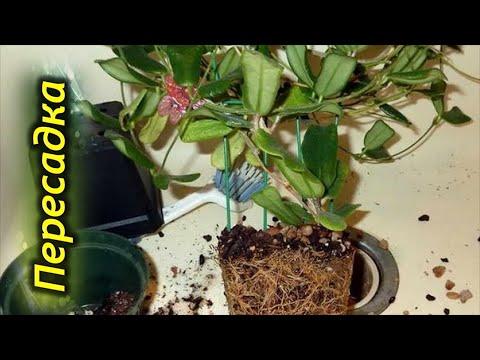 Пересадка хойи. Выбор почвы и горшка для растения.