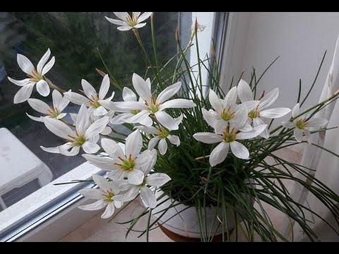 Зефирантес белый (выскочка) - уход в домашних условиях. Глубина посадки луковиц зефирантеса.