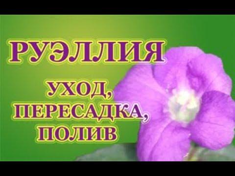 Руэллия, УХОД, ПЕРЕСАДКА, ПОЛИВ. Комнатные растения