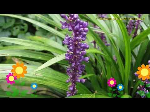 Лириопе мускари Биг Блу. Краткий обзор, описание характеристик liriope muscari Big Blue