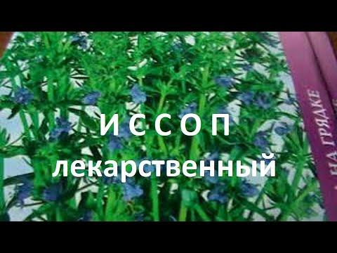 Лекарственные травы:10 лучших: иссоп лекарственный-свойства, применение в медицине