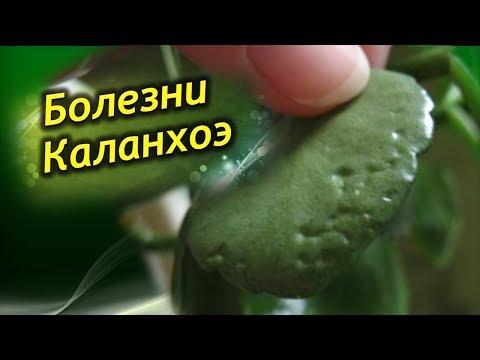 Каланхоэ заболел! Болезни и проблемы выращивания каланхоэ! Как лечить?