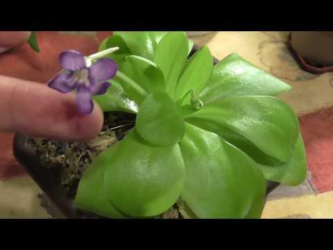 Жирянка Тина цветет