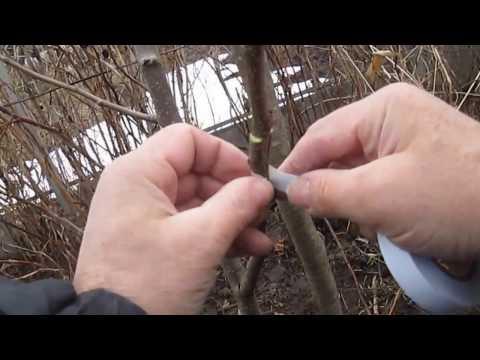Прививка груши весной