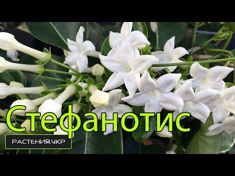 Цветы комнатные / Стефанотис или комнатный жасмин