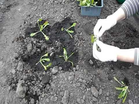 Высаживаем рассаду статицы в грунт.