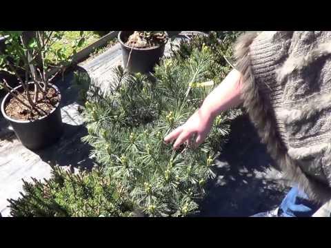 сорта сосен. как выбрать сосны в питомнике . как не ошибиться в выборе сосны