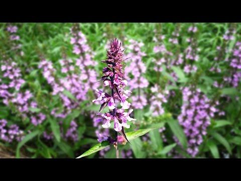 Чистец (трава) – полезные свойства и применение чистеца, цветы чистеца. Чистец лесной, шерстистый