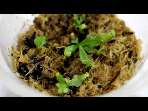 Непентесы из семян