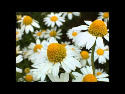 Матрикария цветы