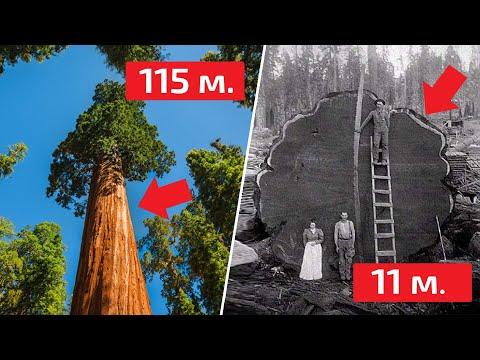 Секвойя - почему деревья ГИГАНТЫ растут только в Америке