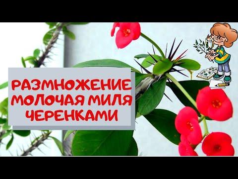 Размножение молочая миля Эуфорбия Миля (Euphorbia speciosa) черенками.Продолжение часть 2-я