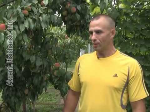 Сам себе агроном - Дегустация персиков