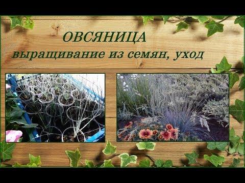 Овсяница сизая - выращивание из семян, посадка, уход