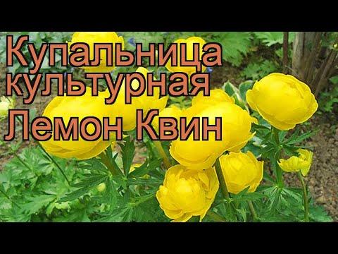 Купальница культурная Лемон Квин (lemon queen) 🌿 обзор: как сажать, рассада купальницы Лемон Квин