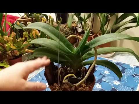 Орхидея Ринхостилис(Rhynchostylis ).Уход.