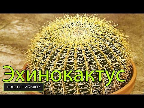 Эхинокактус грузони / Уход за кактусом