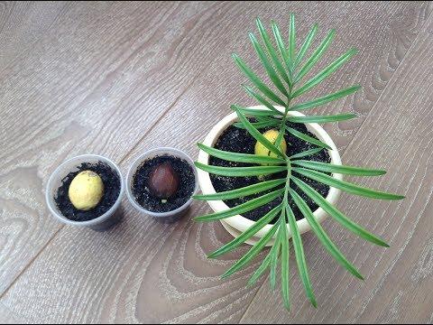 Цикас из семян