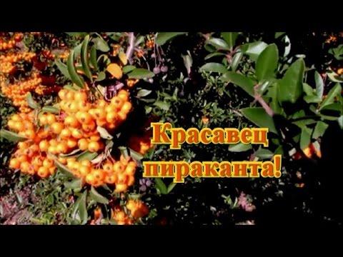 Декоративные кустарники. Кустарник пираканта. Посадка семенами пираканты, эксперимент