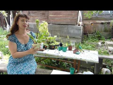 Эукомис - экзотическое луковичное растение