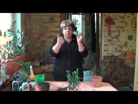 Паслен Перцевидный ( Кубинская Вишня) Неприхотливые Растения Для Начинающих