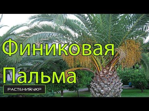 Пальма Финиковая уход в домашних условиях / Phoenicia Date palm care at home