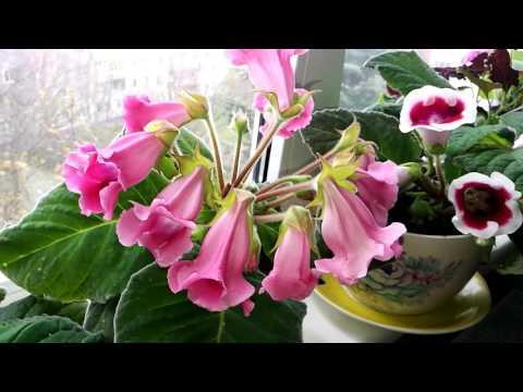 Глоксинья(Тидея) 2. Апрельско-майское цветение.